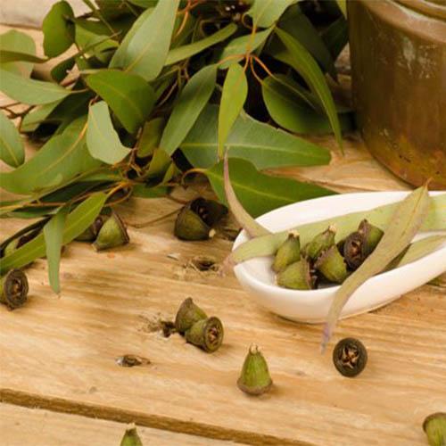 Эфирное масло эвкалипта Eucalyptus_Leaves_fon